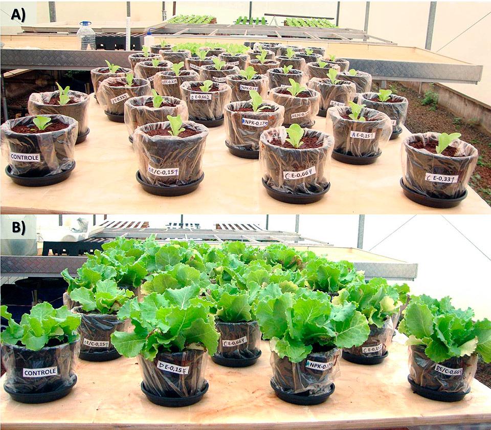 Visão geral do experimento: A) Início do experimento com o transplante de mudas: 05/11/2015; B) final do experimento com a colheita das plantas: 21/12/2015
