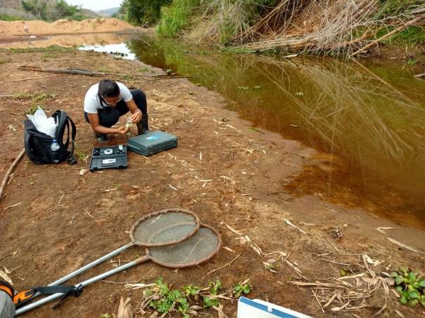Com o uso de peneiras, foram coletados 1500 girinos em 25 pontos, alguns livres de contaminação e outros que tiveram contato direto com a lama. Foto: Josimar Mendes