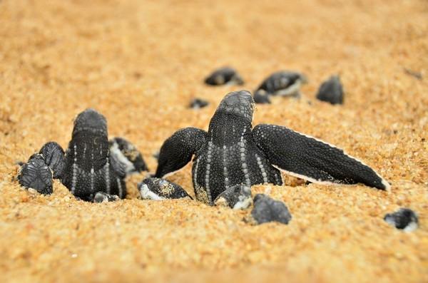 Tartarugas marinhas serão monitoradas na costa do ES atingida pela lama da Samarco