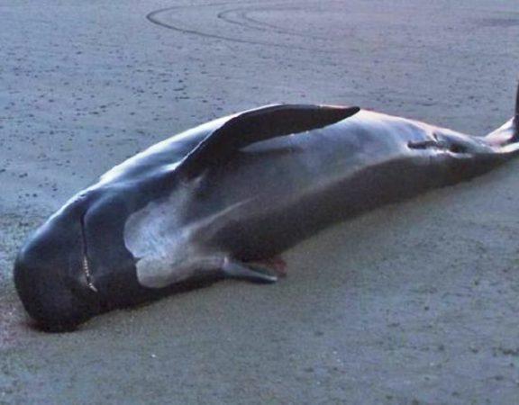 Baleia morre após engolir 80 sacolas plásticas em alto-mar