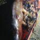 Com 40 kg de plástico na barriga, baleia é encontrada morta