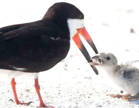 Uma fotógrafa dos Estados Unidos captura um pássaro negro que alimenta seu filhote com um filtro de cigarro na Flórida.